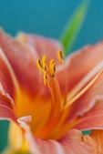 Sommer-blume - liliengewächse (liliaceae — Stockfoto