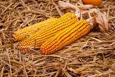 Dekoratif kurutulmuş mısır — Stok fotoğraf