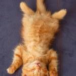 Kitten sleeps on the back like a log — Stock Photo #12112217