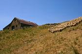 群的羊-2 — 图库照片