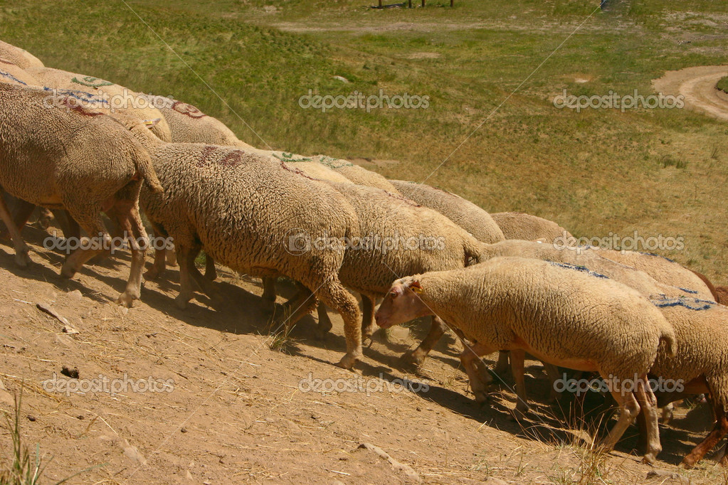 Flock of sheep grazing in the French Alps  Stock Photo #12407885