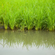 Rice and rice fields. — Stock Photo #11840650