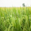 Rice and rice fields. - Stock Photo