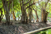 Old trees. — Stock Photo