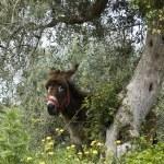 burro bajo un árbol de olivo — Foto de Stock