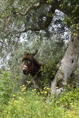 Donkey under an olive tree — Stok fotoğraf