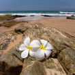 White frangipani (plumeria) spa flowers on rough stones — Stock Photo