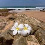 White frangipani (plumeria) spa flowers on rough stones — Stock Photo