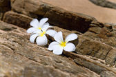 Three white frangipani (plumeria) spa flowers on rough stones — Stok fotoğraf
