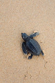 Turtles give birth and get out from sand — Foto Stock
