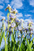 Blooming irises against the blue sky and clouds — Stock Photo