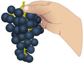 The hand with the bunch of grapes — Cтоковый вектор