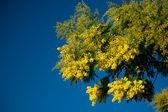 Mimosa acacia — Stock Photo