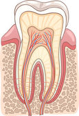 Tooth Section Medical Illustration — 图库矢量图片