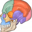 Human Skull Diagram Illustration - Imagen vectorial