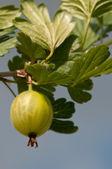 Grosella espinosa — Foto de Stock