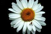 Fly on my daisy 2 — Stockfoto