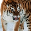 SiberiTiger Growling — Stock Photo #12002622