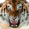 Siberian Tiger Growling — Stock Photo #12002654