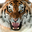 Siberian Tiger Growling - Stock Photo