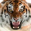 Siberian Tiger Growling — Stock Photo #12002681