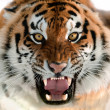 Siberian Tiger Growling — Stock Photo