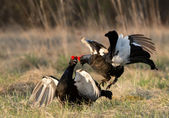 Fighting black grouse (Tetrao tetrix). — Stock Photo