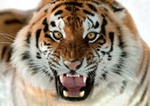 Siberian Tiger Growling — Stockfoto