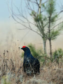 Black grouse (Tetrao tetrix). — Stock Photo