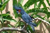 The Palm Cockatoo — Stock Photo