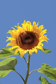 Tall tournesol solitaire mûr — Photo