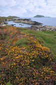 Wild irish flowers and scarriff islands coastal view — Stock Photo