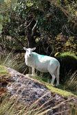 Sheep among trees on rocky hill — Stock Photo
