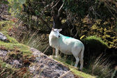 Sheep among trees on rocky hilltop — Stock Photo