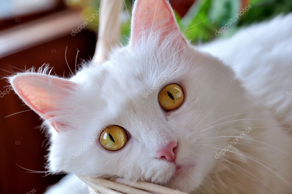 A white cat with yellow eyes in the basket. Focus on the eyes — Stock Photo #11382717