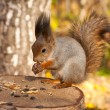 Red squirrel — Stock Photo #10993222