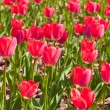 Field of red tulip flowers — Stock Photo