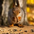 Stock Photo: Red squirrel portrait