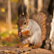 Red eurasian squirrel — Stock Photo #11119184