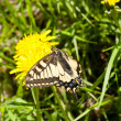 Stock Photo: Swallowtail butterfly