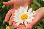 Beautiful camomile flower in the woman's hands — Stockfoto