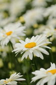 Beautiful camomile flowers — Stock Photo