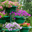 Petunia flowers in pots outdoors — Stock Photo