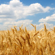 Wheat ears on field under blue sky — Stock Photo #11363296