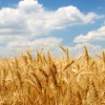 espigas en campo bajo cielo azul — Foto de Stock
