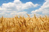 Wheat ears on field under blue sky — Stock Photo
