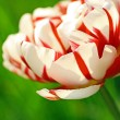 Beautiful double tulip close up — Stock Photo