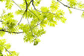 Fresh, Spring leaves of mountain ash tree — Stock Photo