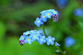 Forget me nots close up — Stock Photo