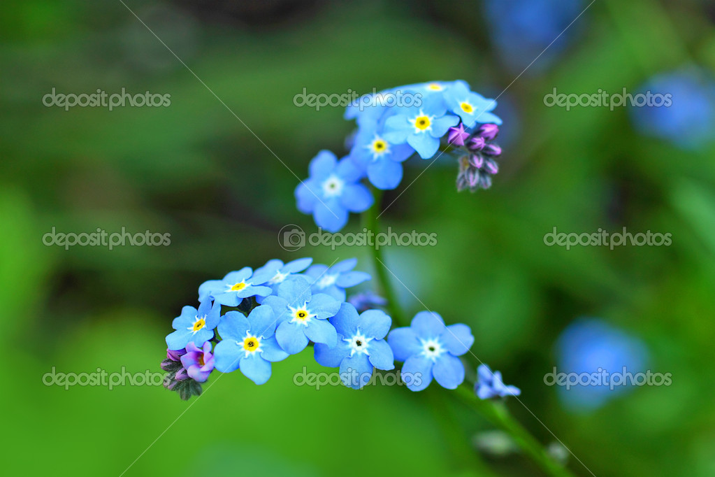 Forget me nots close up — Stock Photo #10865448
